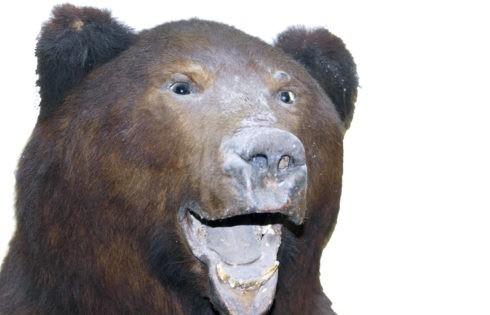 В городе медведей нет, в кимрских лесах – встречаются